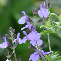 Salvia x 'Elk Blue Moon II'